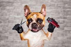 Funny dog ginger french bulldog barber groomer hold clipper and scissors. Man on white brick wall background. Funny dog ginger french bulldog barber groomer hold stock image