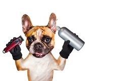 Funny dog ginger french bulldog barber groomer hold shampoo and clipper. Man isolated on white background. Funny dog ginger french bulldog barber groomer hold royalty free stock photos