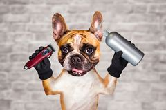 Funny dog ginger french bulldog barber groomer hold shampoo and clipper. Man on white brick wall background. Funny dog ginger french bulldog barber groomer hold stock photo