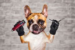 Funny dog ginger french bulldog barber groomer hold straight razor and clipper. Man on white brick wall background. Funny dog ginger french bulldog barber royalty free stock image
