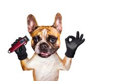 Funny dog ginger french bulldog barber hold hair clipper. Man isolated on white background. Funny dog ginger french bulldog barber holds hair clipper. Man royalty free stock photo