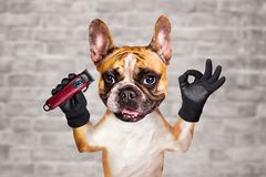 Funny dog ginger french bulldog barber hold hair clipper. Man on white brick wall background. Funny dog ginger french bulldog barber hold hair clipper. Man on a royalty free stock images