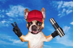 Funny dog ginger french bulldog in a red cap a traveler with a thermos in his hands. Animal on blue sky background royalty free stock photography