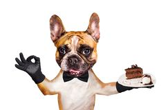Funny dog ginger french bulldog waiter in a black bow tie hold a dessert pie on a plate and show a sign approx. Animal isolated on. Funny dog ginger french stock image