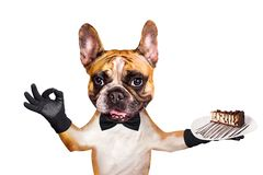 Funny dog ginger french bulldog waiter in a black bow tie hold a dessert pie on a plate and show a sign approx. Animal isolated on. Funny dog ginger french royalty free stock photography
