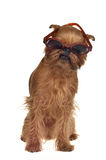 Funny dog with glasses. Isolated Stock Image
