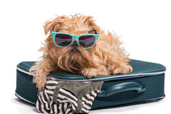 Funny dog in glasses lies on the  suitcase Royalty Free Stock Photos