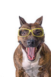 Funny dog in glasses showing tongue royalty free stock photos