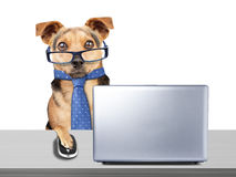 Funny Dog glasses tie working computer laptop desk isolated. Funny Dog wearing glasses and tie working at computer laptop at desk isolated Royalty Free Stock Images
