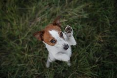 Funny dog in the grass outdoors. Pet jack russell terrier on vacation Royalty Free Stock Photography