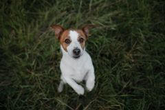 Funny dog in the grass outdoors. Pet jack russell terrier on vacation Royalty Free Stock Photos
