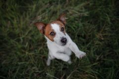 Funny dog in the grass outdoors. Pet jack russell terrier on vacation Stock Photography