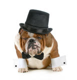 Funny dog. Grumpy looking bulldog dressed up in a tophat and black tie isolated on white background Royalty Free Stock Photo