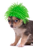 Funny Dog Hair. Small Chihuahua Dog with Funny Green Hair Royalty Free Stock Image