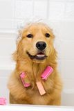 Funny dog with hair curlers and a shower cap Royalty Free Stock Image