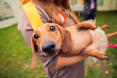 Funny dog in the hands of women Stock Image