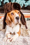 Funny dog in hat with ear flaps under New Year tree. Funny dog lies on the fur carpet in hat with ear flaps and holding bone under the Christmas tree Stock Photography