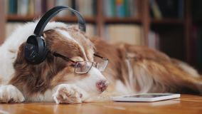A funny dog in headphones, lies on the floor near the tablet. Devices and animals. Favorite pets concept royalty free stock photos