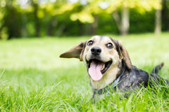Funny dog with his tongue out Stock Photo