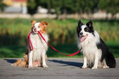 funny dog holding another dog on a leash royalty free stock photo