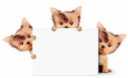 Funny dog holding empty banner, isolated on white Royalty Free Stock Photo