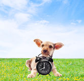 funny dog holding in teeth alarm clock Stock Images
