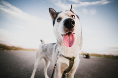 Funny dog. Funny husky dog playing with me Stock Images