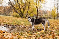 Funny dog husky walking outdoor in the autumn park. Funny dog husky walking outdoor royalty free stock photo