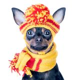Funny Dog ​​in A Knitted Cap And Scarf, Portrait Of A Macro Royalty Free Stock Images