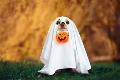 Free Funny Dog In Ghost Costume Posing For Halloween Stock Photos - 157737713