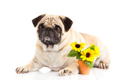 Funny dog isolated on white background, flowers Royalty Free Stock Images