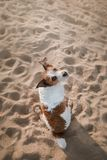 Funny dog sits on the sand on the beach. Summer and travel. Funny dog Jack Russell Terrier on the sand on the beach. Summer and travel Royalty Free Stock Photo