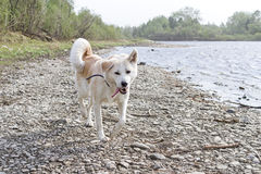 Funny dog Japanese akita inu on the stony bank of the river during a strong storm with tongue out. Funny dog Japanese akita inu on the stony bank of the river royalty free stock photos
