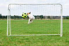 Funny dog jumping and catching football ball at goal. Jack Russell Terrier playing as goalkeeper Royalty Free Stock Photography