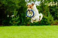 Funny dog in jumping motion catching ring toss toy stock images