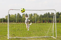 Funny dog jumps as a rocket to catch a ball. Jack Russell Terrier pet playing football Royalty Free Stock Photo