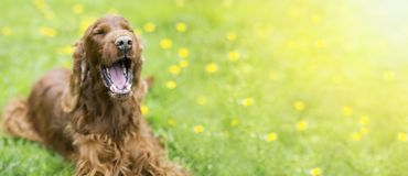 Funny dog laughing in summer Royalty Free Stock Photography