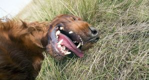 Funny dog laughing Stock Images