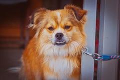 Funny dog on a leash Stock Photo