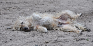 Funny dog lies on the ground Royalty Free Stock Images