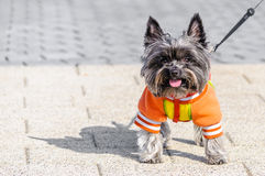 Funny dog little pet Royalty Free Stock Photo