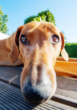 Funny dog with long nose. An adorable african Rhodesian Ridgeback female lying down and looking up. She is relaxed an enjoying life. Image taken as a wide angle stock photography