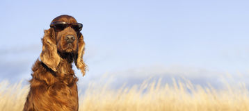 Funny dog looking. Website banner of a funny Irish Setter dog Royalty Free Stock Photography