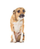Funny dog looking. On white background Royalty Free Stock Photo