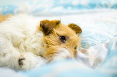 Funny dog lying in bed. Jack Russell Terrier cute faces Stock Images