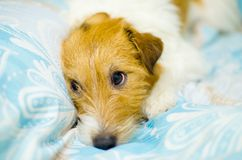 Funny dog lying in bed. Jack Russell Terrier cute faces Stock Photos