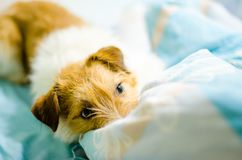 Funny dog lying in bed. Jack Russell Terrier cute faces Royalty Free Stock Photo