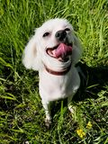 Funny dog Maltese summer in the Park. View Royalty Free Stock Images
