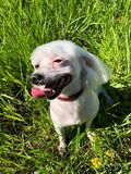 Funny dog Maltese summer in the Park. View Stock Photos