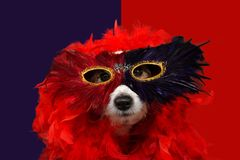 FUNNY DOG IN MARDI GRAS OR CARNIVAL WEARING ARED FEATHER BOA AND MASK. ISOLATED STUDIO SHOT AGAINST WHITE COLORED PURPLE AND RED royalty free stock photos